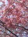 河津桜満開_1_2