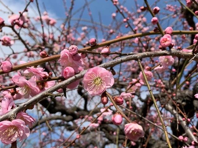 大阪城公園の梅林と至福のイチゴパルフェ_1_2-2