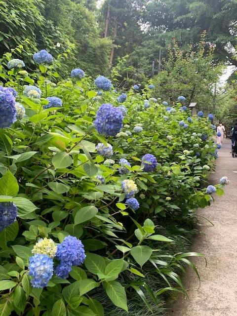 鎌倉の紫陽花が見頃です_1_1-1