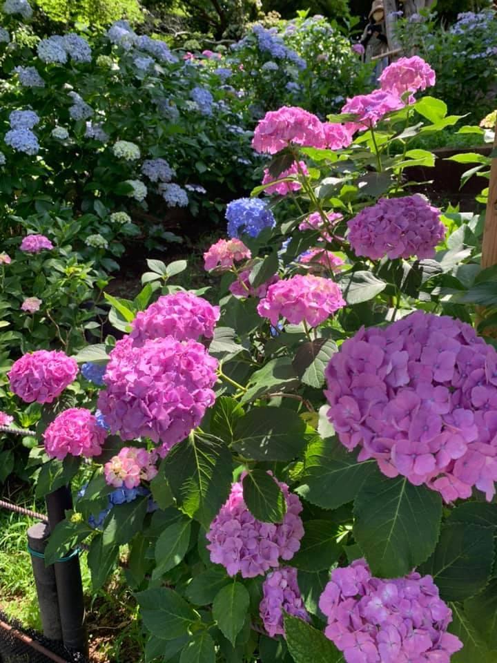 近所で小旅行気分になれる朝いちばんの紫陽花寺散歩_1_3-3