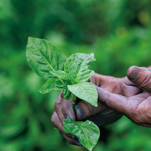 藍の生葉染めは、葉の収穫時期である7月から9月末ごろまで行われる。