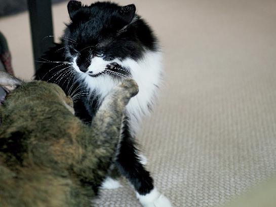 【あの人の溺愛ねこ図鑑 第1回】黒田知永子さんの愛猫はツンデレ王子と甘えんぼ_1_5-1
