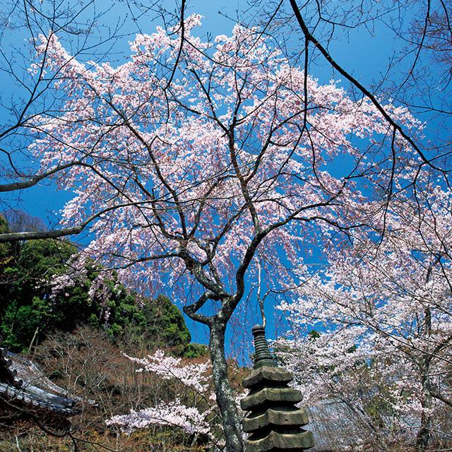 勝持寺の気品ある枝垂れ桜