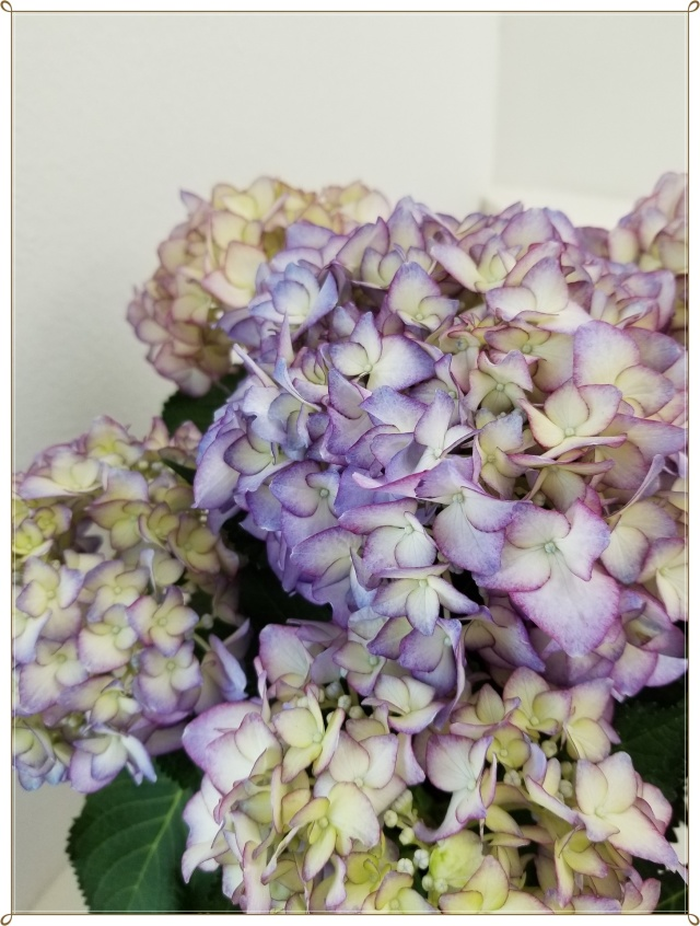 また今年も紫陽花の季節がやって来ました♪_1_3