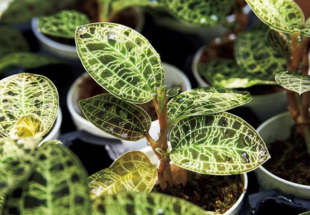 葉が金色に光るジュエルオーキッドも人気。¥998