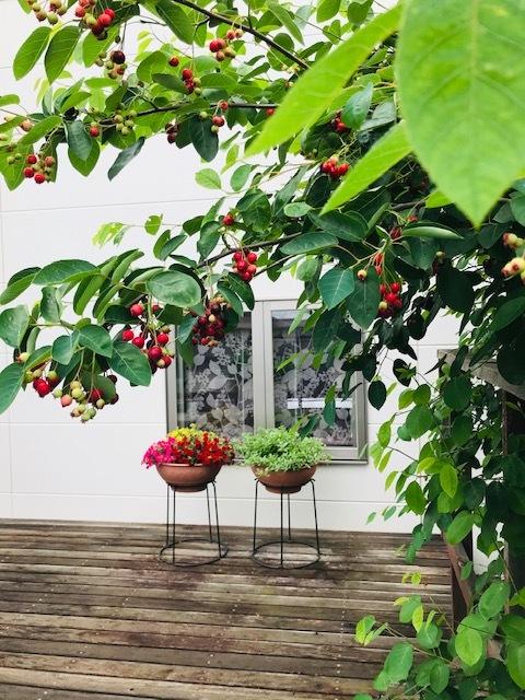 お庭の『ジューンベリーの実』*収穫してジャムに_1_3