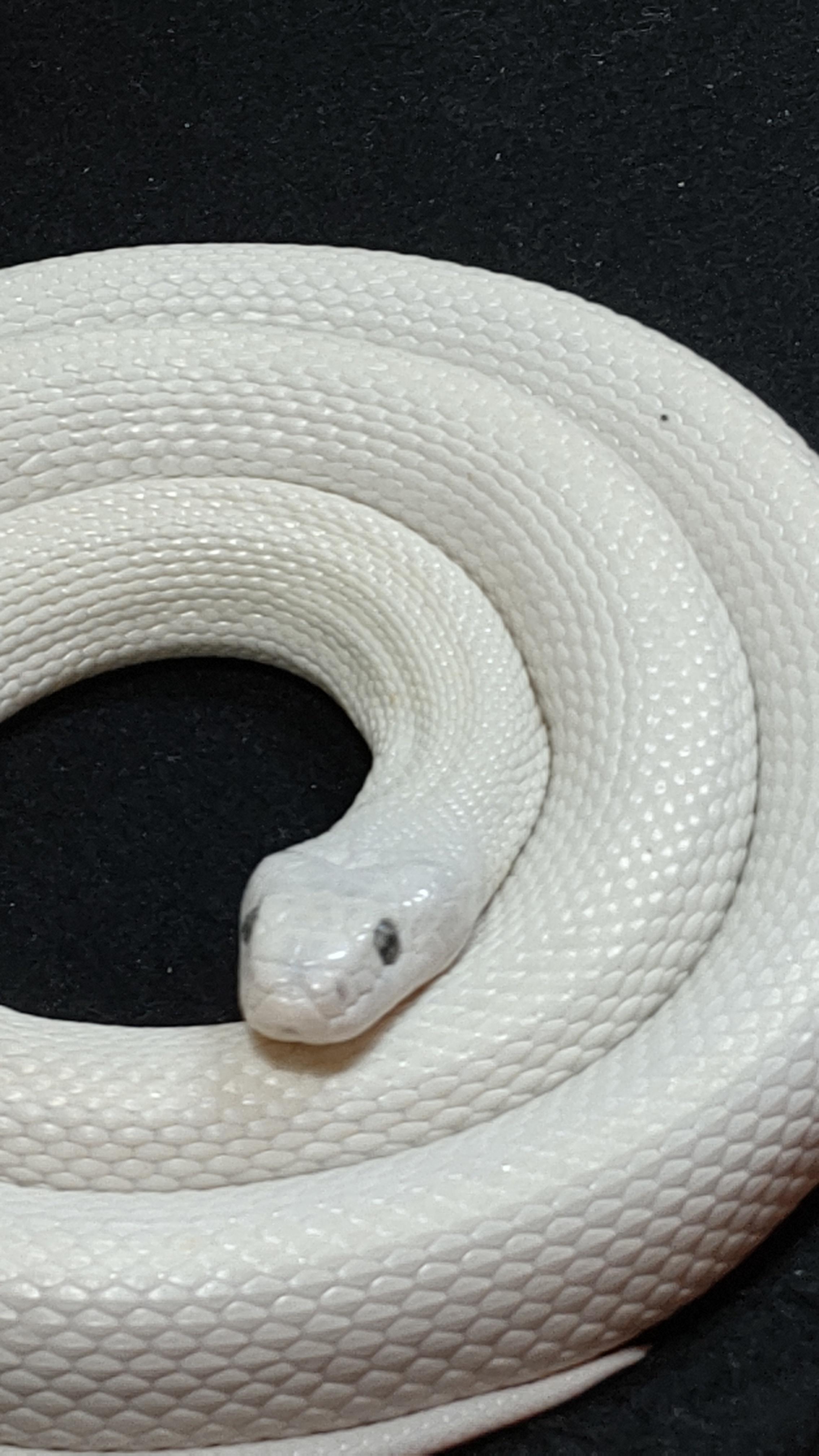 更年期の運気、白蛇で上がる !_1_1