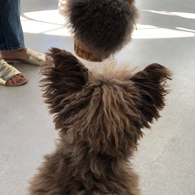 モデル SHIHOちゃんの愛犬チュバ♡なんか似てる……_1_1