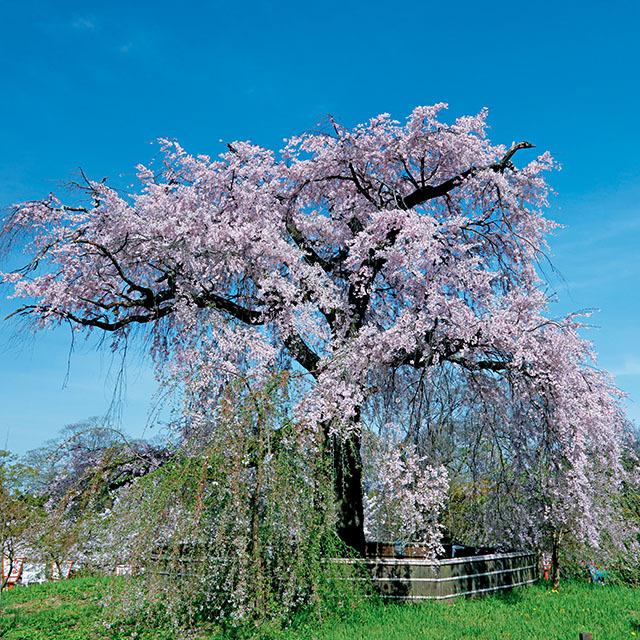 「円山公園の枝垂れ桜」