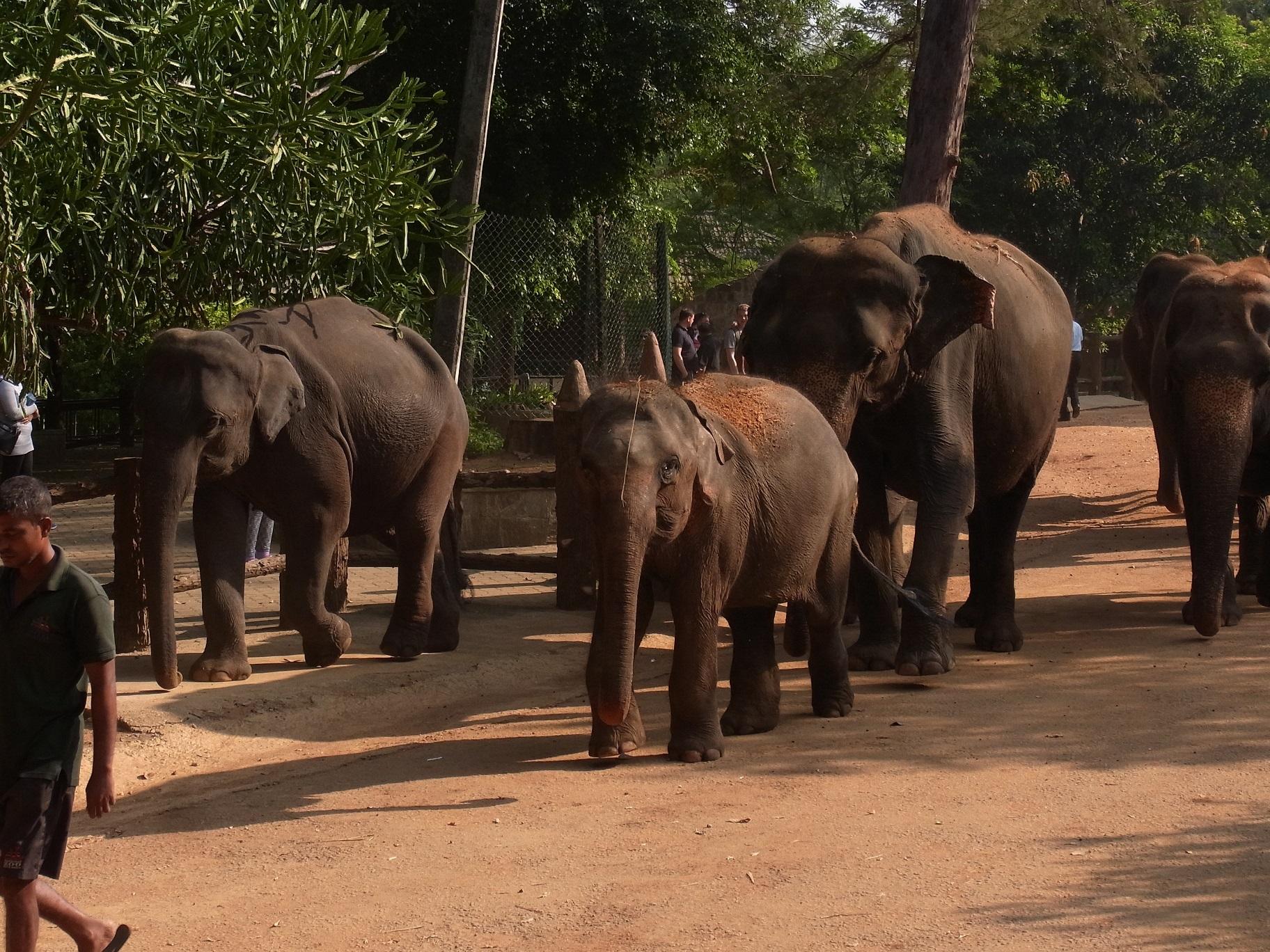 ピンナワラの象の孤児院@スリランカ_1_1