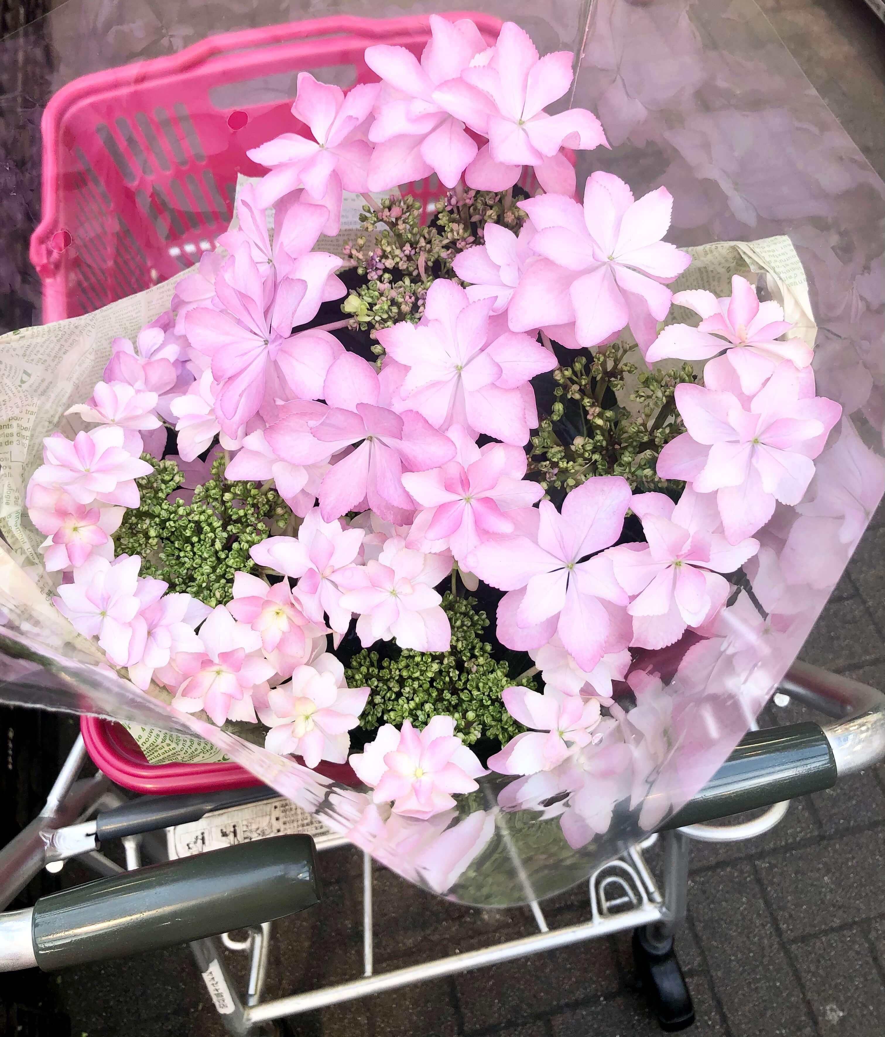 ピンクの可愛い珍しい花びらの西洋紫陽花。