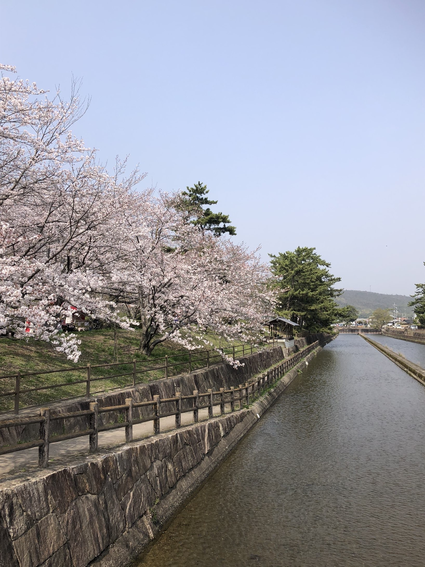 酒津公園用水路沿いの桜