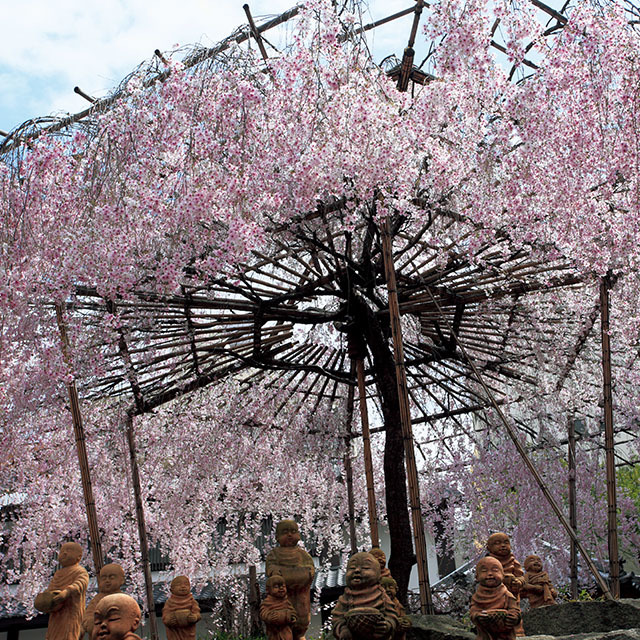 京都中心街のビルの谷間、六角堂に咲く枝垂れ桜