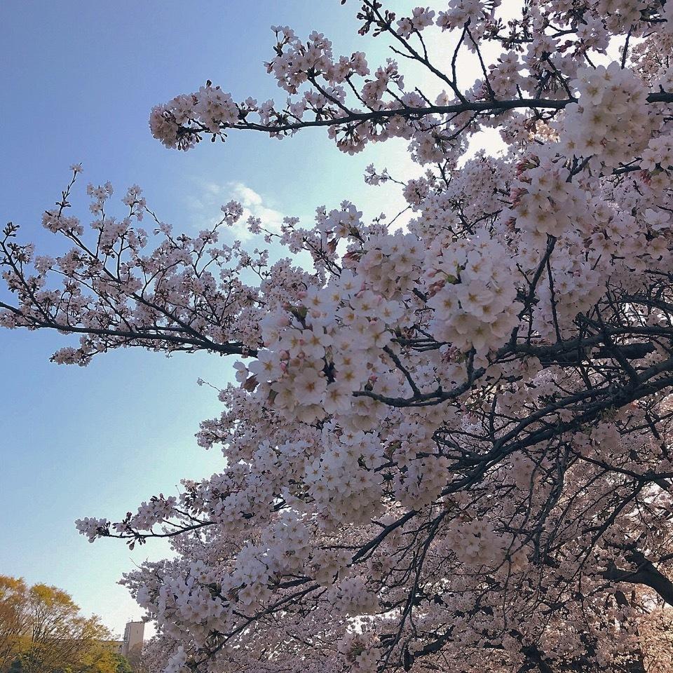 私のおすすめお花見スポット ❤︎_1_2