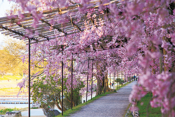 """一生に一度は愛でたい、京都の""""名桜""""【「京都」桜にまつわる10の愉しみ】_1_2-2"""