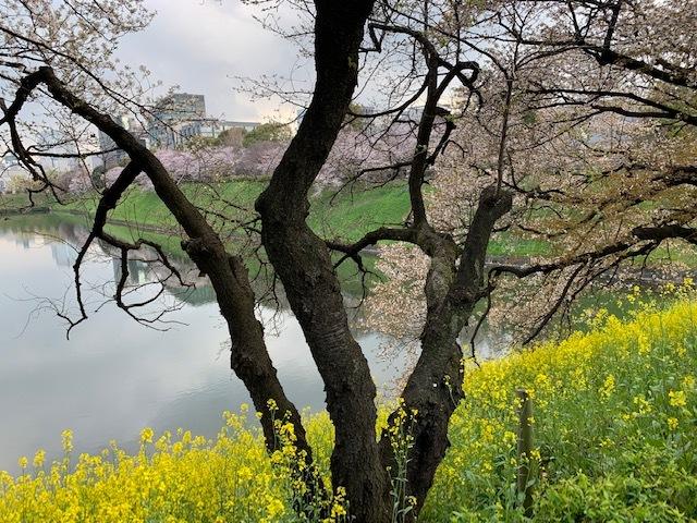 そうだ!桜を見に皇居へいこう♪_1_2