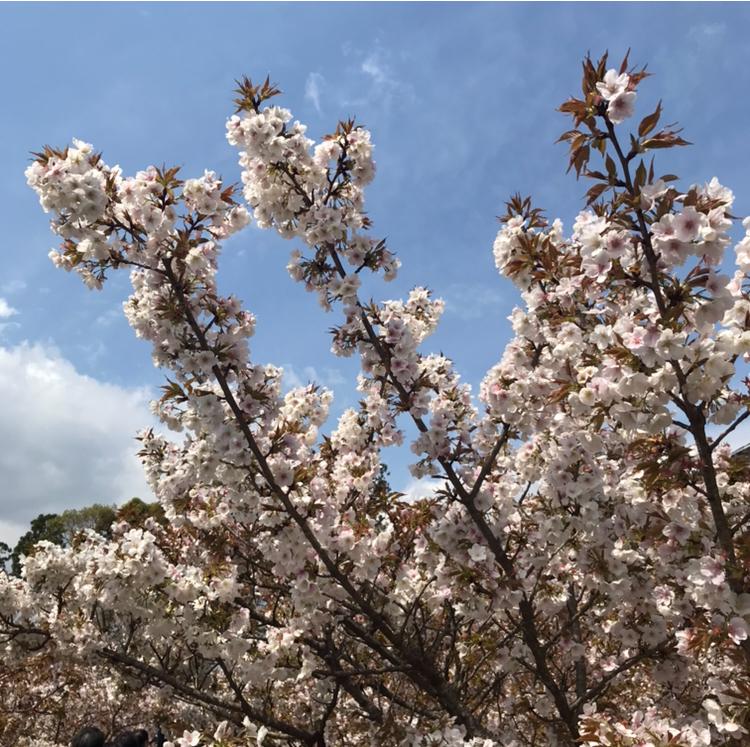 京都 仁和寺。低気温な日のお花見はパーカーが大活躍!_1_3-2