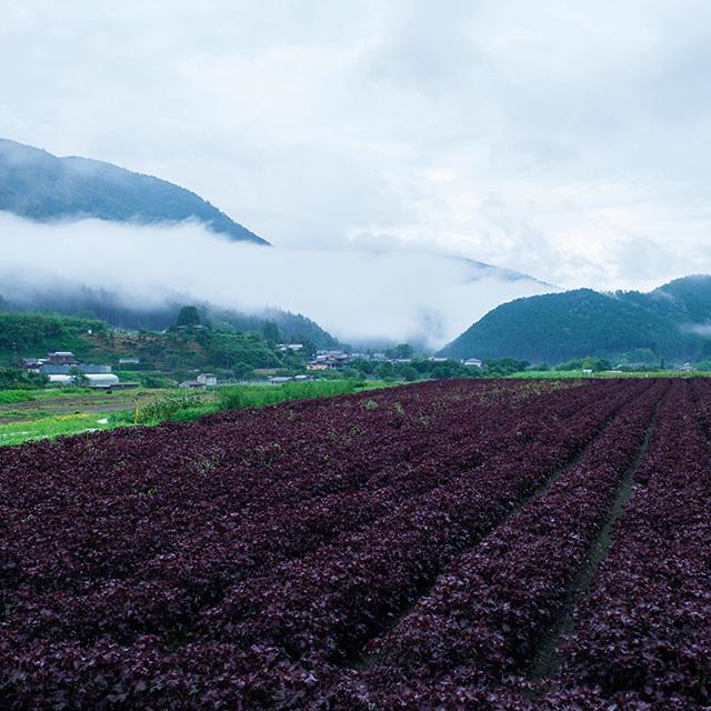 しば漬けの原料となる赤紫蘇が栽培されている