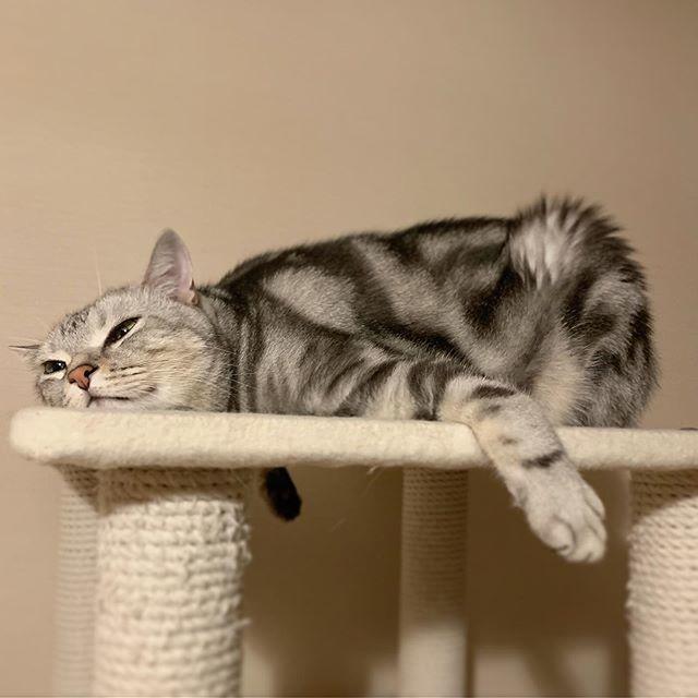 アラン 猫 インスタキャット アメリカンショートヘア アメショー