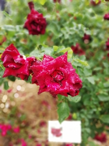 雨に濡れても綺麗な薔薇。黒真珠という品種だそう。
