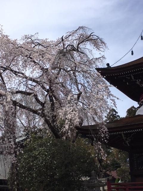奈良吉野の千本桜と西宮夙川公園の桜♪_1_2-2