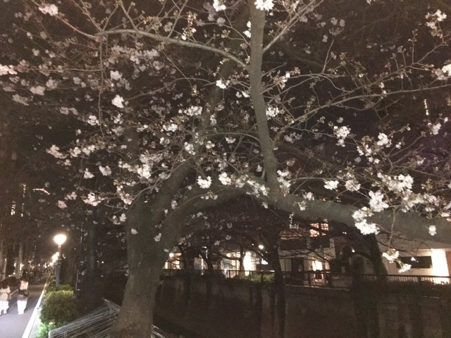 中目黒の夜桜_1_3