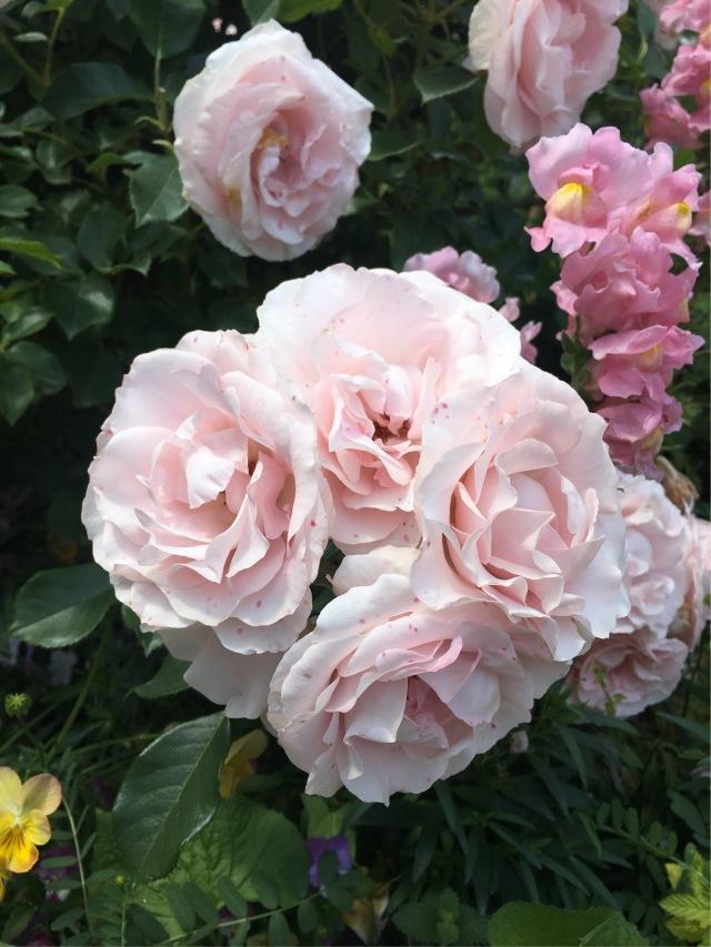 薔薇の季節_1_2
