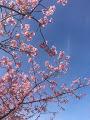 河津桜満開_1_1