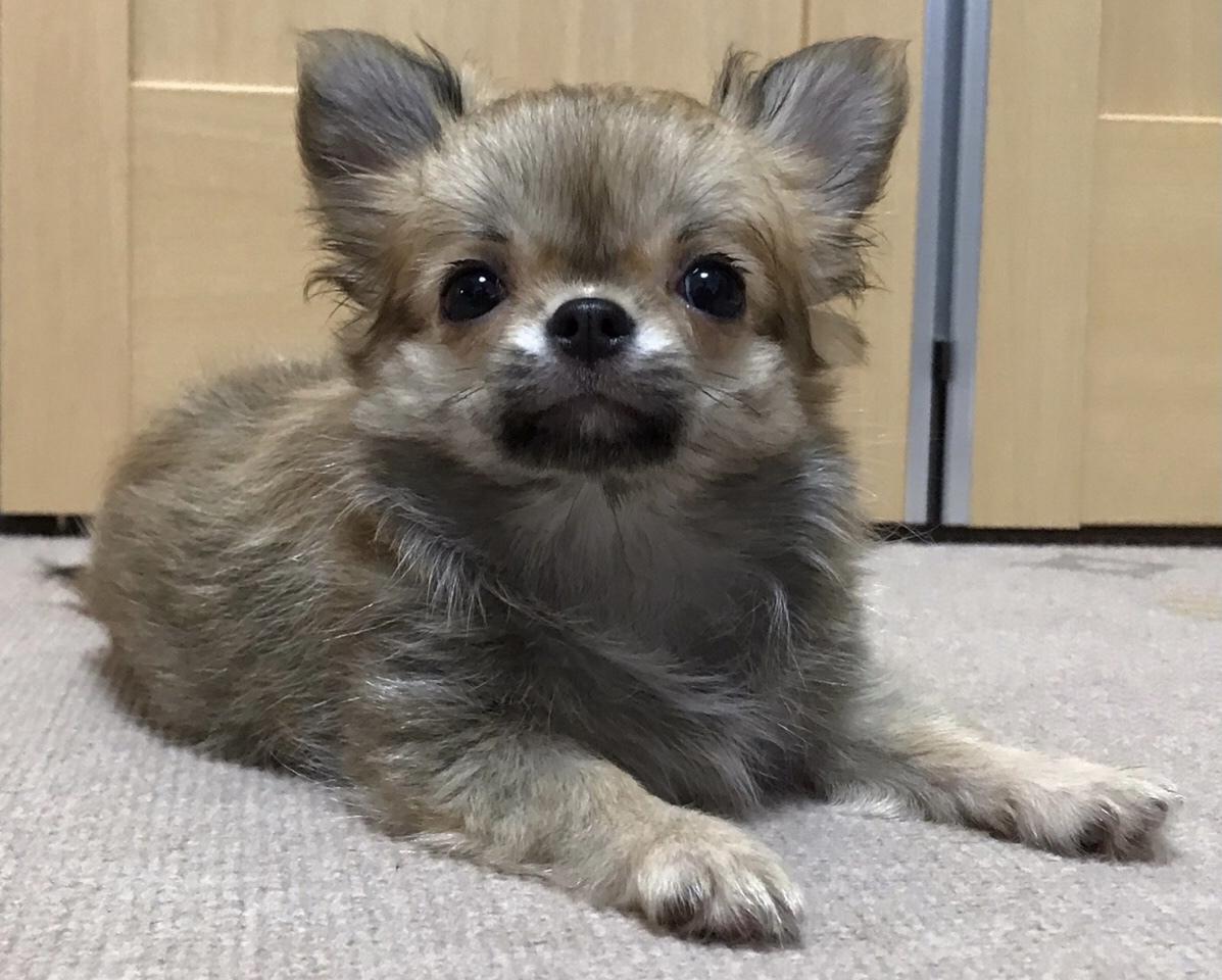 チワワ  赤ちゃん 仔犬