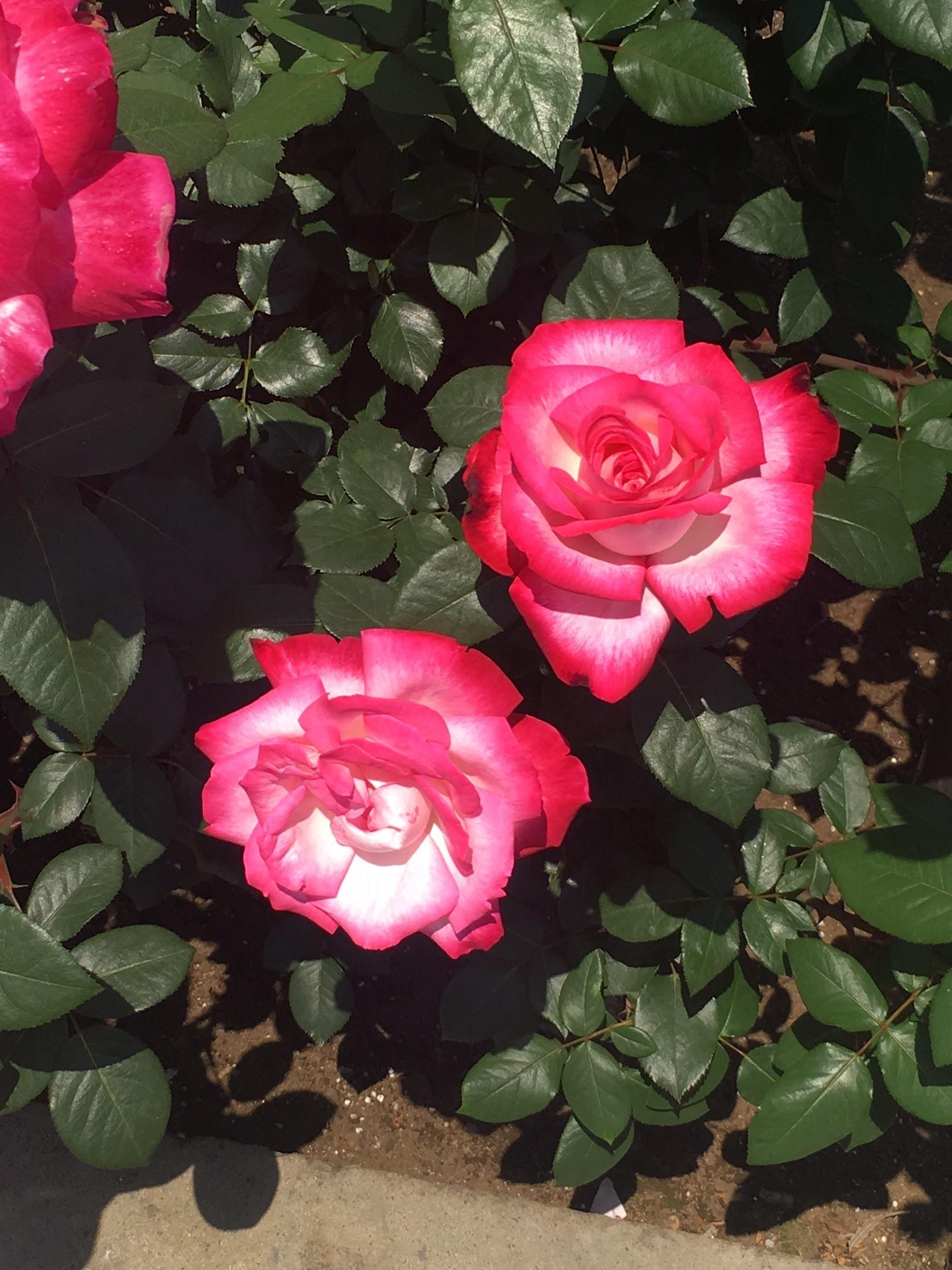 神代植物公園でバラ鑑賞_1_6
