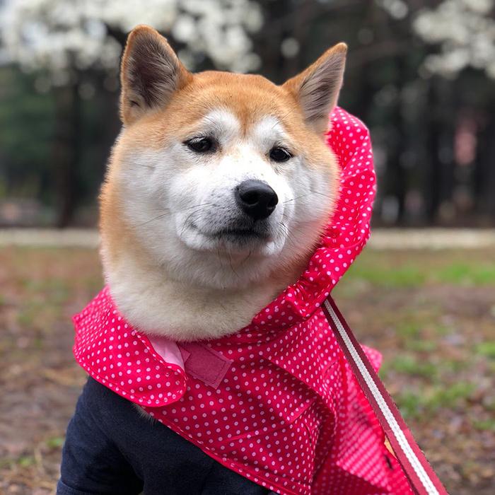 柴犬 ひなちゃん shibainu hina