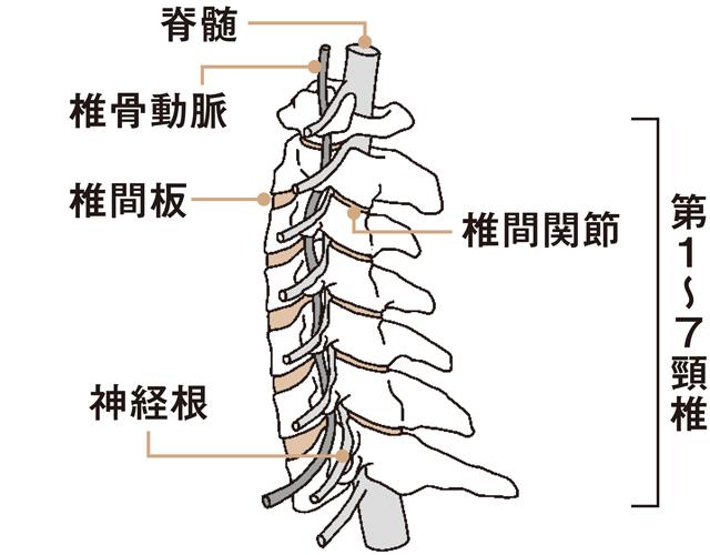 頸椎の構造図
