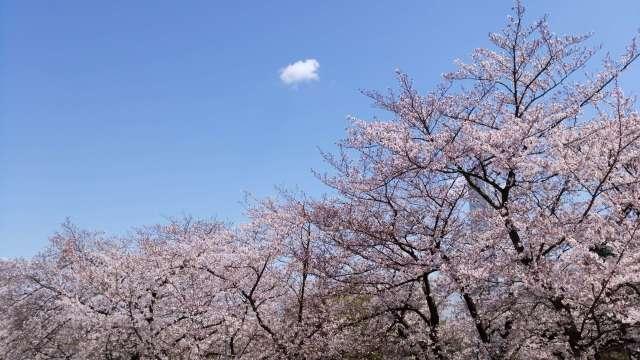桜の綺麗なこの季節は_1_7