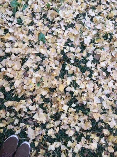 銀杏が色づく外苑の並木でお散歩♡_1_2