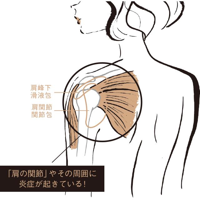 肩の関節はこうなっている!