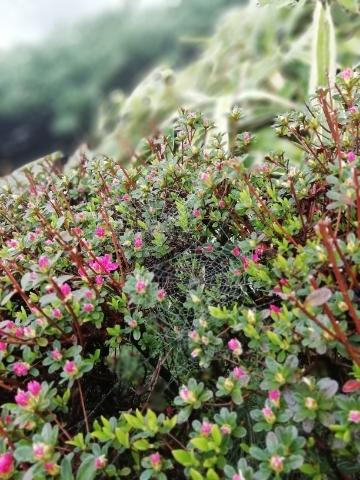 植物に張った蜘蛛の巣①