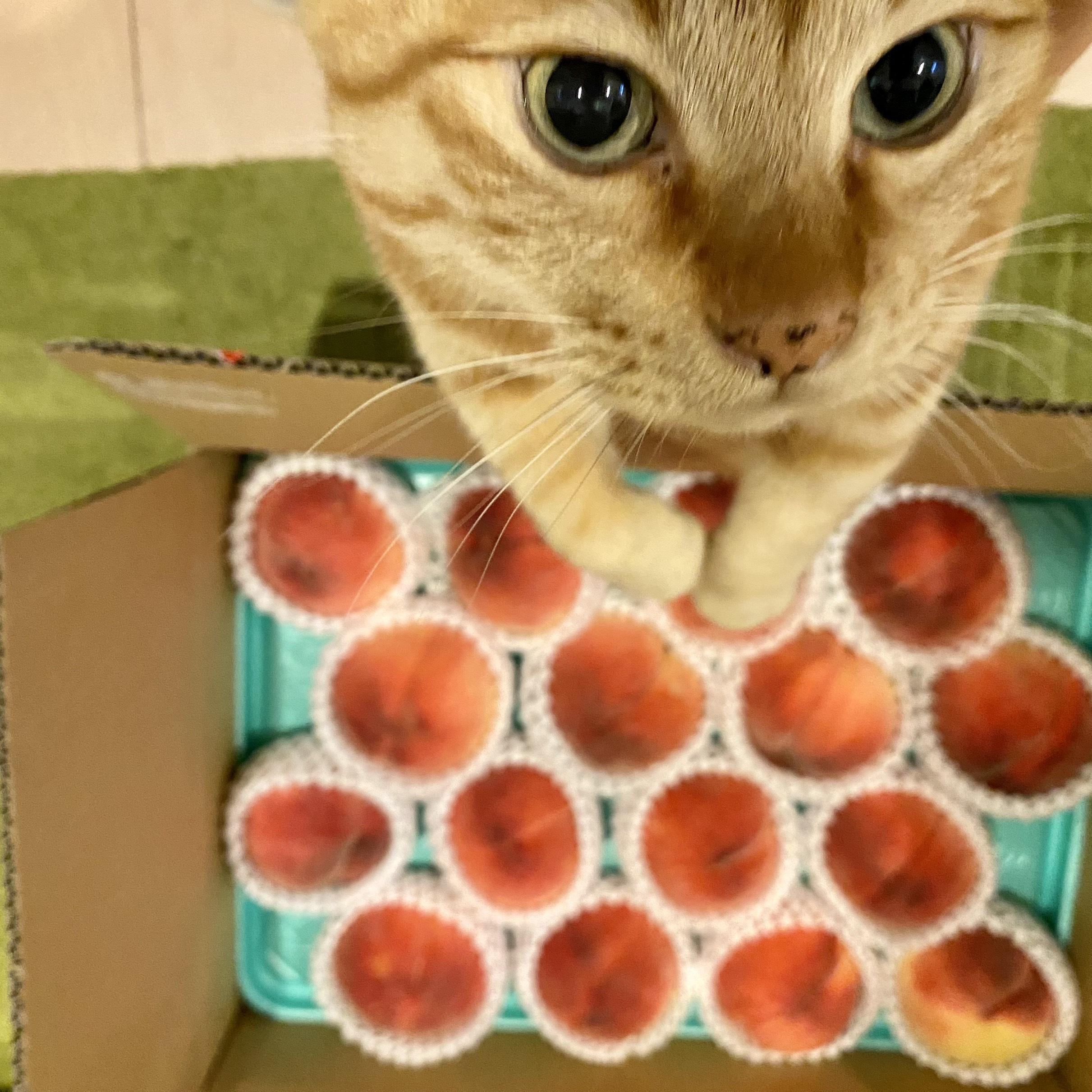 飼い猫の虎太朗が桃をチェック