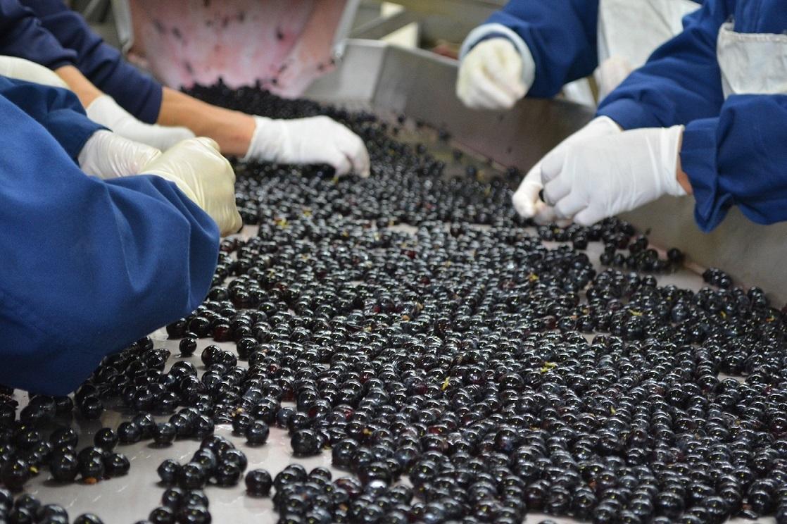 選果は、ブドウを一粒一粒ていねいにチェックされる。果汁を酸化させないよう、優しく搾汁される。