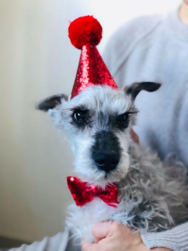 シュナウザー17歳 ハイシニア犬