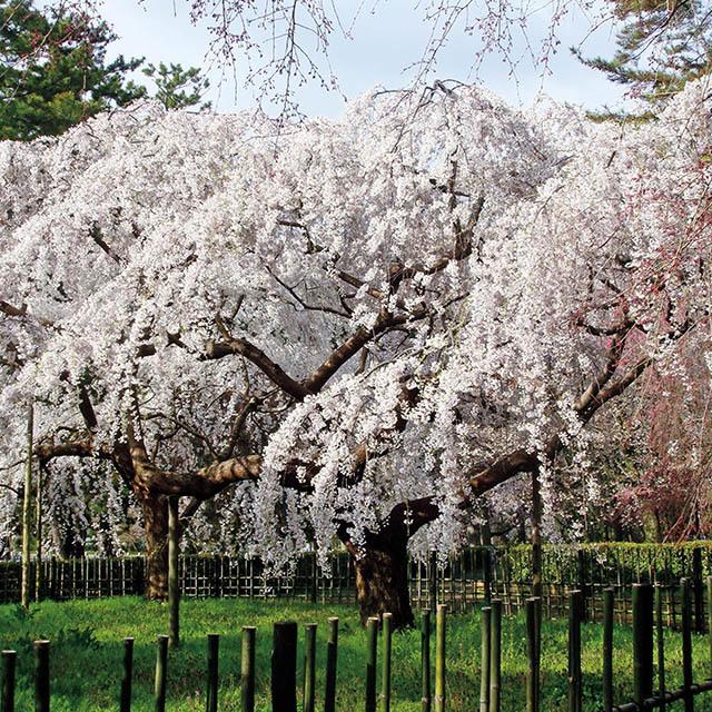 京都御苑内、近衛邸跡地の糸桜