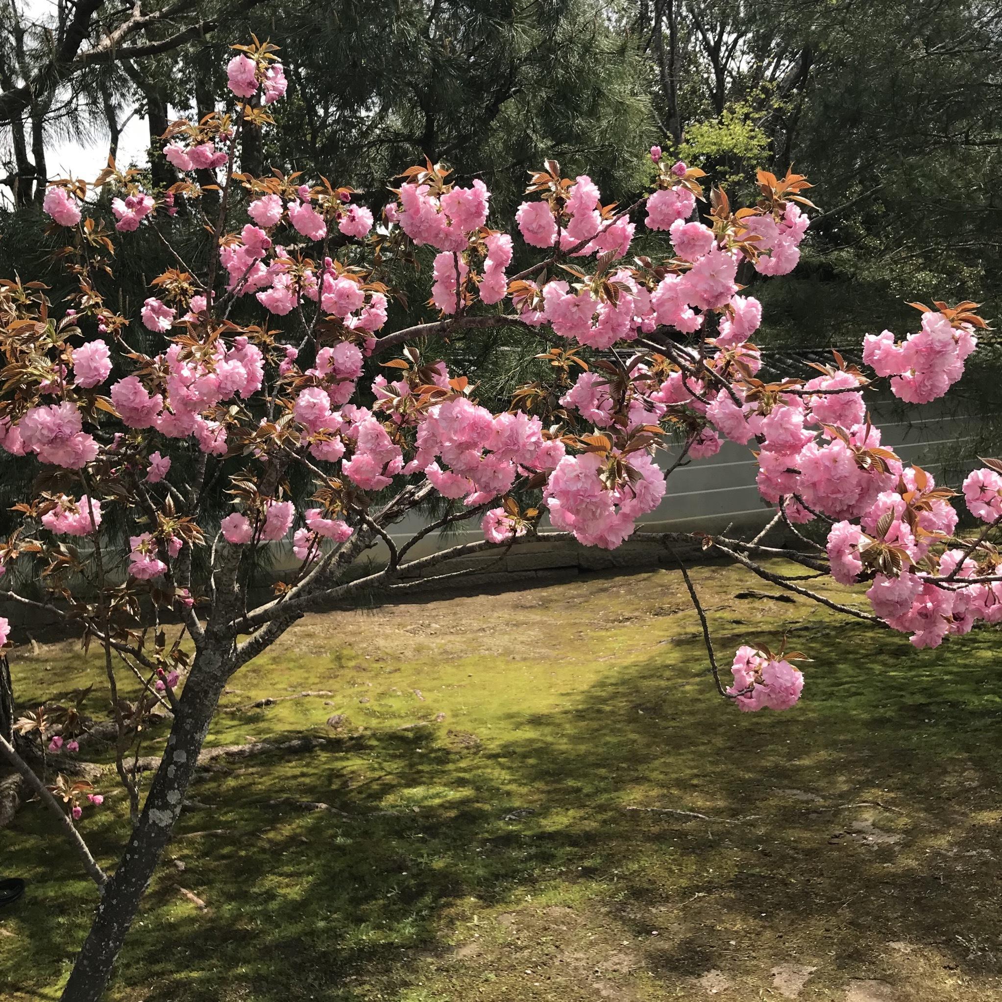 京都 仁和寺。低気温な日のお花見はパーカーが大活躍!_1_3-5