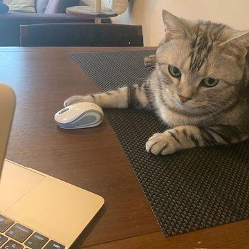 【eclatキャット】邪魔する姿がかわいい!愛猫・アランとのテレワーク生活