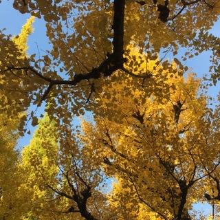 銀杏が色づく外苑の並木でお散歩♡