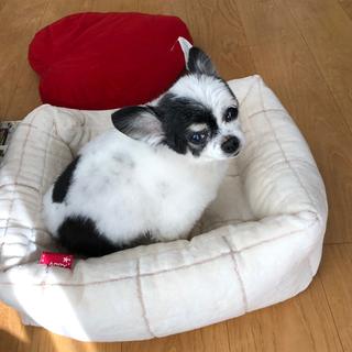 新しいベッドが来たよ【チワワ グミちゃん #45】