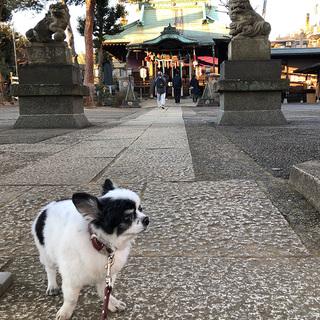 チワワwith狛犬さん【チワワ グミちゃん #40】