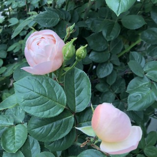 バラを育てる喜び_1_3