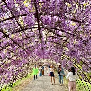 ☆「令和」元年☆藤の花のお花見でスタート!