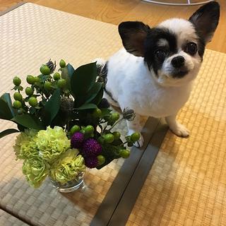 お花はキレイだけど…【チワワ グミちゃん #15】