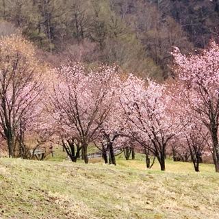 福島県でおすすめの『桜の名所』①
