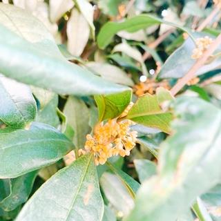金木犀の香りが運んでくる秋の知らせ
